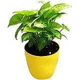 Syngonium Mango Indoor Plant In Plastic Planter - B01H1YG9O8