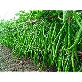CHILLI SEEDS HOT JWALA PARIKSHA HYBRID | PACK OF 100 SEEDS HIGH YIELDING BY Seedscare India