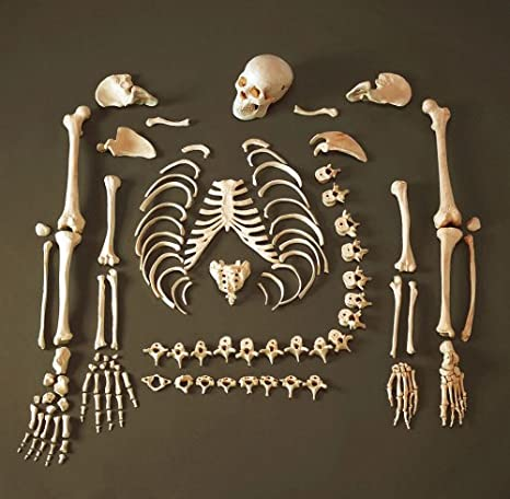 Anatomical Chart Co. Full Disarticulated Budget Skeleton With Skull