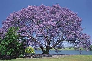 250 Samen Jacaranda mimosifolia, Palisanderholzbaum