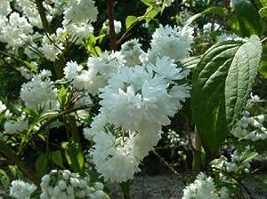 10 Stck. Blütensträucher im Cont. 60 - 100 cm: Amazon.de