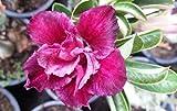 Adenium Obesum Desert Roses Rare 20 seeds