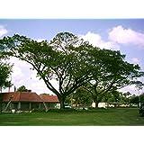 Forest Seeds : Gulabi Siris - BestShade Tree ForHome Home Garden Pack By Creative Farmer