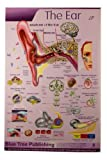 The Ear Poster 24x36inch, Anatomy, Organs of Hearing and Balance