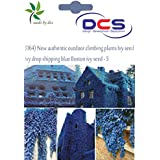 DCS (064) New Authentic Outdoor Climbing Plants Ivy Seed Blue Boston Ivy Seed-5