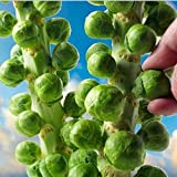 Generic Europe Sub Hot Organic Brussels Sprouts Seeds Of Vegetable Seeds 200 Seeds