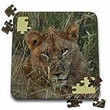 Angelique Cajam Big Cat Safari - Young female lion in the grass - 10x10 Inch Puzzle (pzl_26823_2)