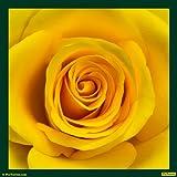 Rose Yellow 02 Canvas Medium ( 30 In X 30 In )
