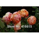 100 Lady Emma Hamilton Rose Bonsai Rose Seeds David Austin English Musk Rose Flower Bonsai Garden Plants Seeds