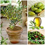 New Free Shipping 3pcs Mini Bonsai Tree Olive Seeds , Edible Fruit And Vegetable Seeds, Genuine Seed