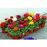 Generic 10pcs/bag Ranunculus Flower Bulbs(not Ranunculus Seeds),Ranunculus Flower Bulbs Perennials Bulbos De Flores...