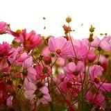 Flora Fields Cosmos - Sensation Mix