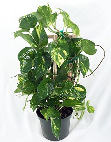 Golden Devil's Ivy - Pothos - Epipremnum - 6