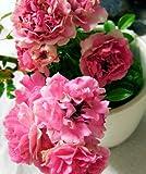 "Emeralds TM Rose Bush Plant Heirloom Seven Sisters 4"" Pot"