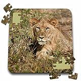Angelique Cajam Big Cat Safari - Lion in the grass waking up - 10x10 Inch Puzzle (pzl_26825_2)