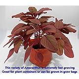 SEED Seller: Red Leaf Vegetable Amaranthus Spp, Laal Saag Seeds AR-1. Maroon Red Leaves, Fast Growing, High Yielding... - B01E27REIM