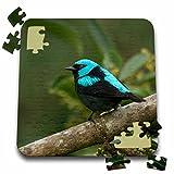 Danita Delimont - Birds - Scarlet-thighed Dacnis bird, Anton el Valle Panama - SA15 WSU0009 - William Sutton - 10x10 Inch Puzzle (pzl_141625_2)