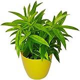 GreenLands Dreacena Golden Indoor Plant In Yellow Color Plastic Planter