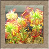Free Ship Sundew Clip Venus Flytrap Seeds Insectivorous Seed Garden Plant Seeds Bonsai Family Potted-40 Seeds 12