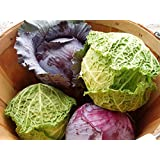 Cabbage Seeds Combo- Red Cabbage And Savoy Cabbage (30 Seeds Each) By Raunak Seeds