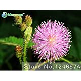 Bashful Grass Seeds, Mimosa Pudica Linn, Foliage Mimosa Pudica Sensitive - 30 Seed Particles