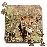 Angelique Cajam Big Cat Safari - Young lion in the grass - 10x10 Inch Puzzle (pzl_26826_2)