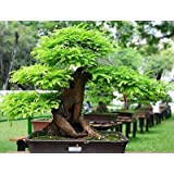 Imported Bonsai Seeds Tamarind Seeds Bonsai Seeds (Pack Of 5) For Indian Climate-by Creative Farmer