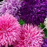 Flora Fields Aster (Michaelmas Daisy) - Crego Giant Mix