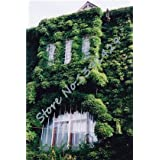 100 Pcs/ Bag 5 .s Green Boston Ivy Seeds Ivy Grass Seed For DIY Home & Garden Outdoor Plants Tree Seeds Drop Shipping 2