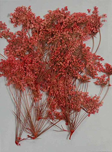 Red Queen Anne's Lace - real pressed dried flowers