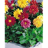 DAHLIA MIGNON MIX FLOWER SEEDS (PACK OF 20) BY KRAFT SEEDS