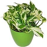 GreenLands Scindapsus Njoy Indoor Plant In Green Color Plastic Planter