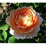 100 Rose Carding Mill Seeds English Rose, David Austin Rose Seeds Flower Bonsai Garden Plants