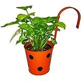GreenLands Syngonium Indoor Plant In Polka Hanging Planter
