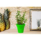 Rolling Nature Good Luck Jade Plant In Small Green Colorista Pot