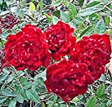 Old Heirloom Rose Live Plant Mini Sweetheart Climber Red Cascade