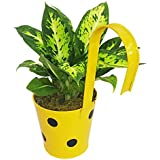 GreenLands Dieffenbachia Spackle Indoor Plant In Yellow Color Metal Hanging Planter