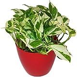 GreenLands Scindapsus Njoy Indoor Plant In Red Color Plastic Planter