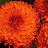 Flora Fields Calendula (Pot Marigold) - Double Sunset Orange