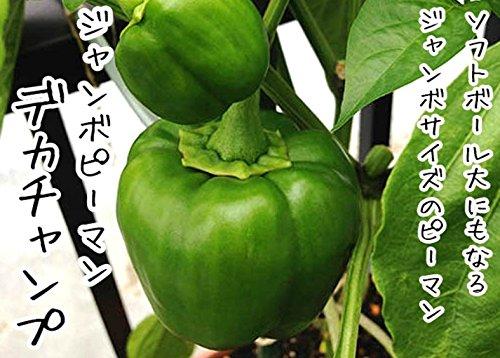 【 生産農場直送 】 ピーマン苗 デカチャンプ ジャンボピーマン ピーマン 実生 苗 9cm ポット( 3号 ) 野菜苗 実生苗