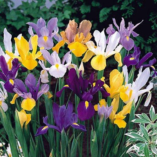 Mixed Dutch Iris 40 Bulbs - SUPER VALUE - Hardy - 8/9 cm Bulbs
