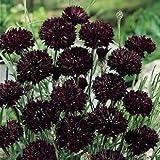 "35+seeds/pack BACHELOR'S BUTTON CORNFLOWER ""BOY BLACK"" FLOWER SEEDS /GOTHIC / GREAT GIFT"
