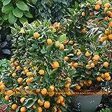 Mini Garden Bonsai Kumquat Seeds, 100 Seeds/pack, Fresh Fruit Tree Seeds, Fortunella Organic Cumquat