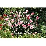 100 Heritage Rose Pink Rose Seeds David Austin Modern Rose Flower Bonsai Garden Plants Seeds