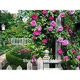 100 Rose Zephirine Drouhin Seeds Bourbon Heirloom Pink Rose Climber Climbing Rose Seeds Bonsai Flower And Garden...