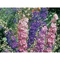 Kitchen Garden Hub - Larkspur Flower 100 Seeds Pack (2 Seeds Packets For Garden Lovers)