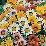 Flora Fields Gazania - Sunshine Hybrids Mix