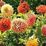 Flora Fields Gaillardia (Blanket Flower) - Lorenziana Double Mix