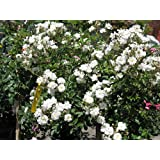 Bonsai Seeds - White Climbing Rose Flower Seeds Bonsai Seeds (Pack Of 5) For Beginners-by Creative Farmer