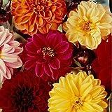 Flora Fields Dahlia - Beauty Mix